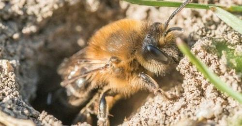 những loài ong độc
