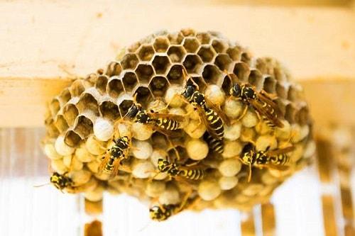 ong làm tổ trong nhà