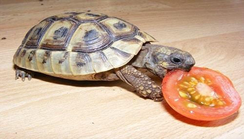 rùa câm ăn gì