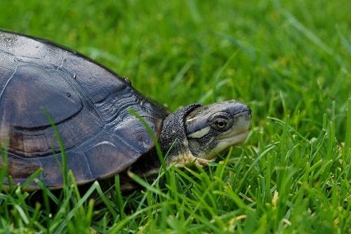 rùa câm giá bao nhiêu tiền