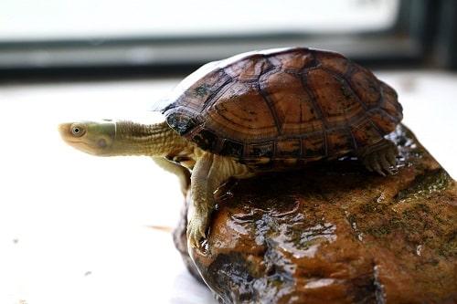 rùa câm giống