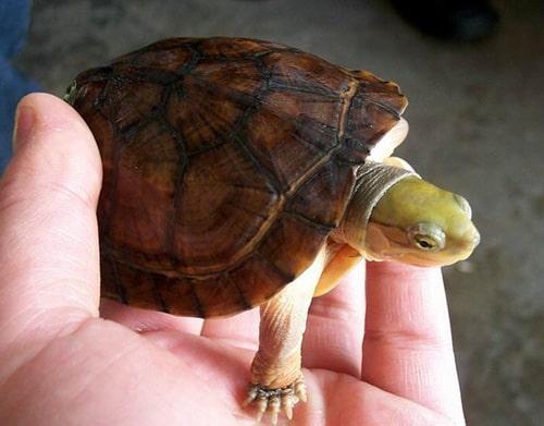 rùa câm