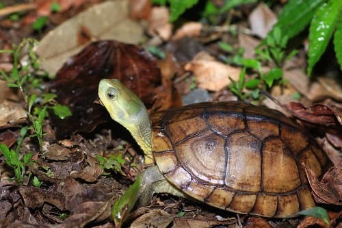 rùa câm sống ở đâu