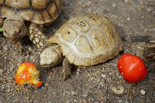 rùa núi vàng ăn gì
