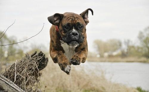 tính cách chó boxer