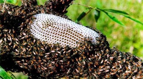 tổ ong ruồi