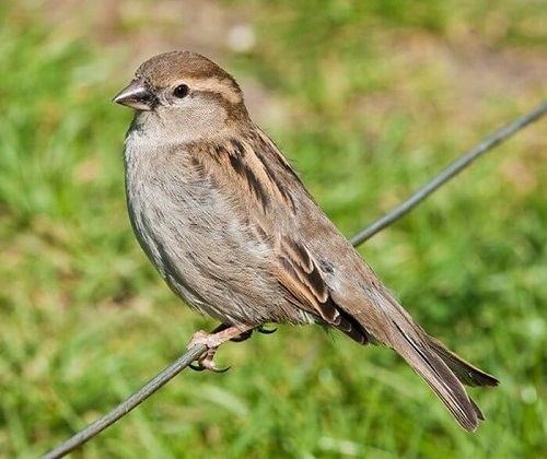 đặc điểm chim se sẻ