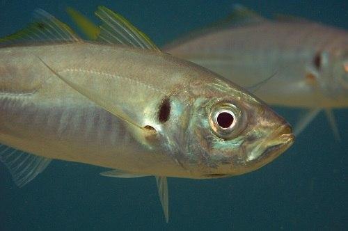 Cá sòng ăn gì?