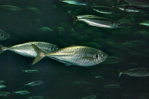 Đặc điểm của cá sòng