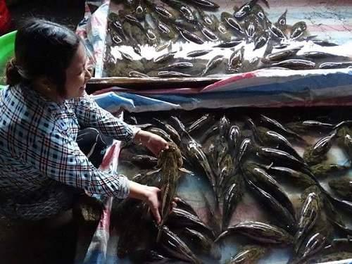 chăm sóc cá bống tượng