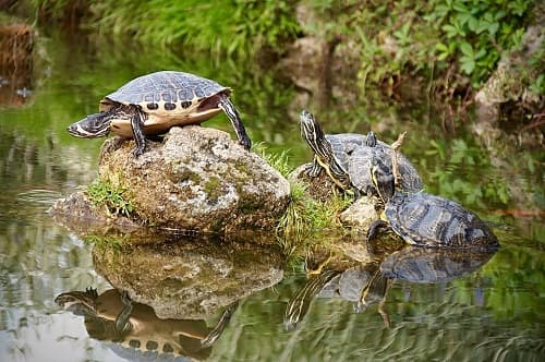 cách nuôi rùa hộp lưng đen
