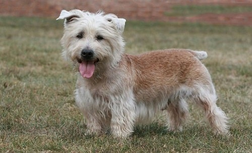 chó Glen of Imaal Terrier