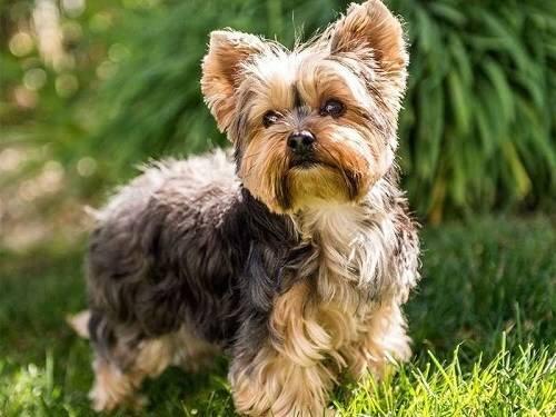 Chó cảnh lông xù Yorkshire Terrier