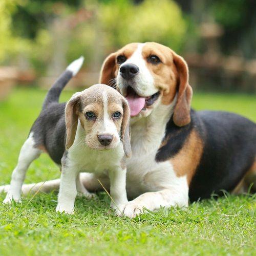 chó beagle con