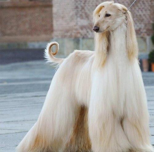 Chó kiểng xù lông Afghan Hound