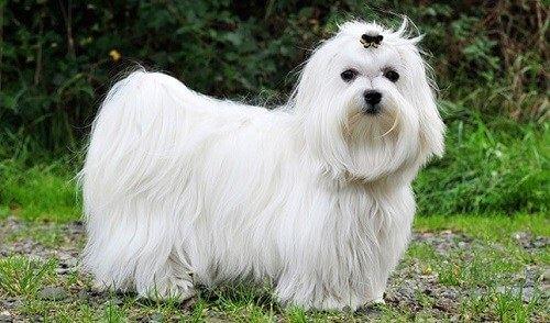 Chó trắng lông xù Maltese