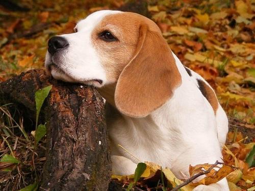 chú chó săn thỏ beagle