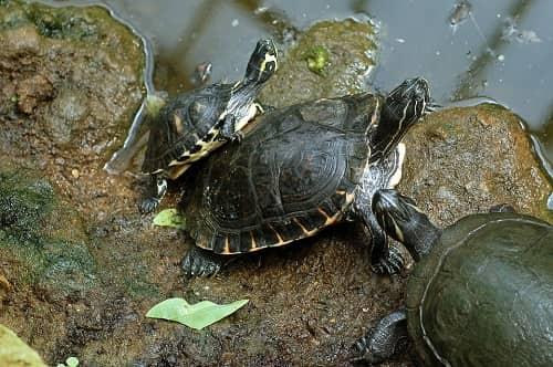 chuồng nuôi rùa hộp lưng đen
