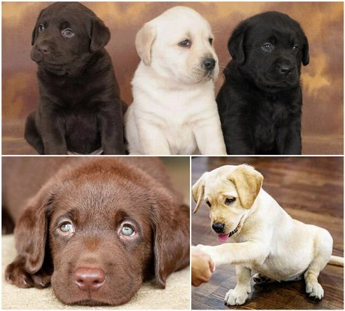 labrador chó