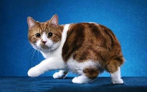 mèo cộc đuôi nhật bản