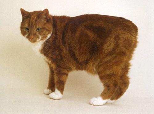 mèo manx giá bao nhiêu