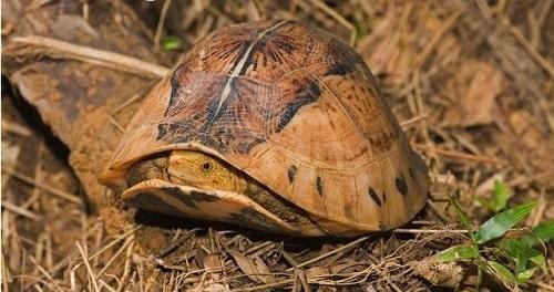 Rùa hộp trán vàng