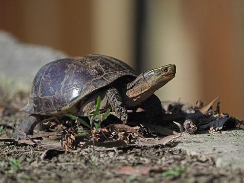 rùa hộp lưng đen max size