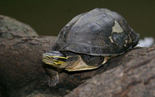 rùa hộp lưng đen sống ở đâu