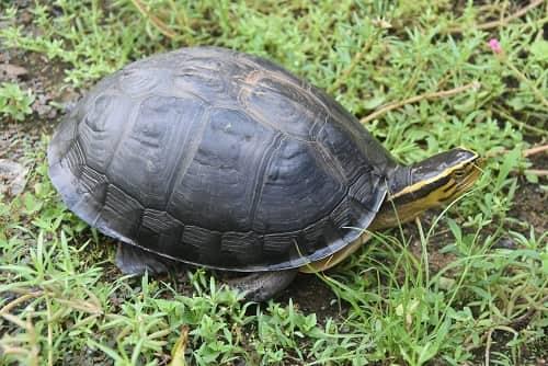 rùa hộp lưng đen