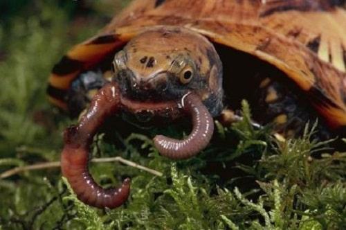 rùa hộp trán vàng ăn gì