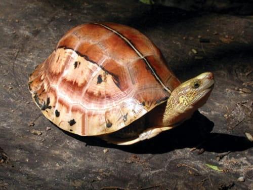 rùa hộp trán vàng giá bao nhiêu