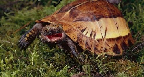 rùa hộp trán vàng miền trung