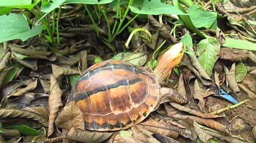 rùa hộp trán vàng sống ở đâu