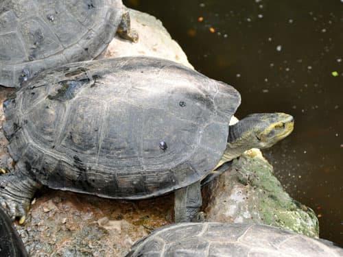 rùa răng sống ở đâu
