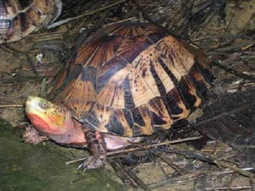 săn bắt rùa hộp trán vàng