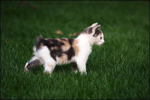 tính cách của mèo manx