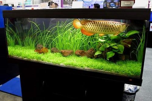 bể nuôi cá kim long