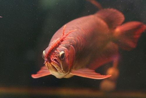 cá kim long ăn gì