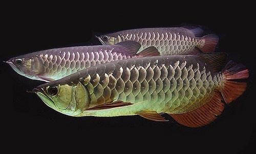 cá kim long