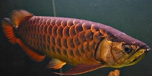cá kim long sinh sản