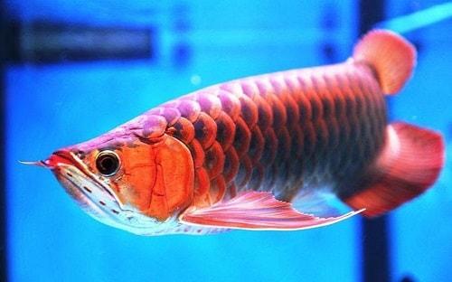 cá lưu hồng vỹ