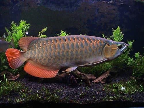 cá rồng cao lưu hồng vỹ