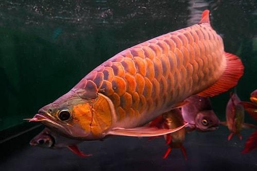 kỹ thuật nuôi cá kim long