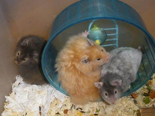 Chuột Hamster Satin