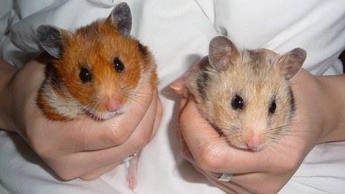 Chuột Hamster bear Longhaired