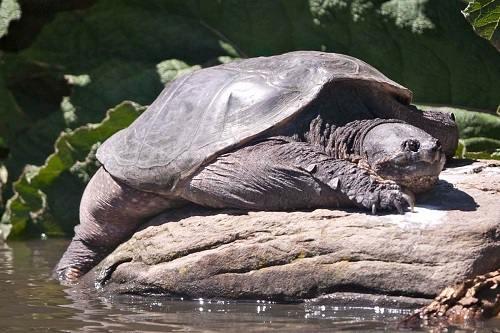 Đặc điểm hình dáng của rùa mũi lợn