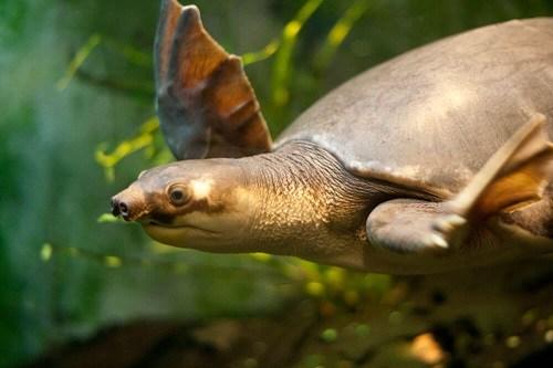 Mua, Bán rùa mũi lợn ở đâu tại Hà Nội, TP.Hồ Chí Minh?