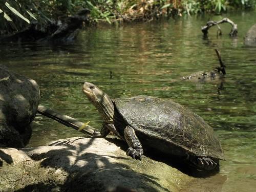 Bể nuôi rùa cổ sọc
