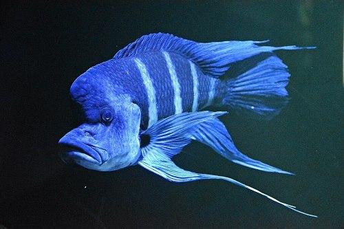 cá đầu bò