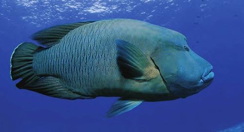 cá Sú Mì có nuôi được không